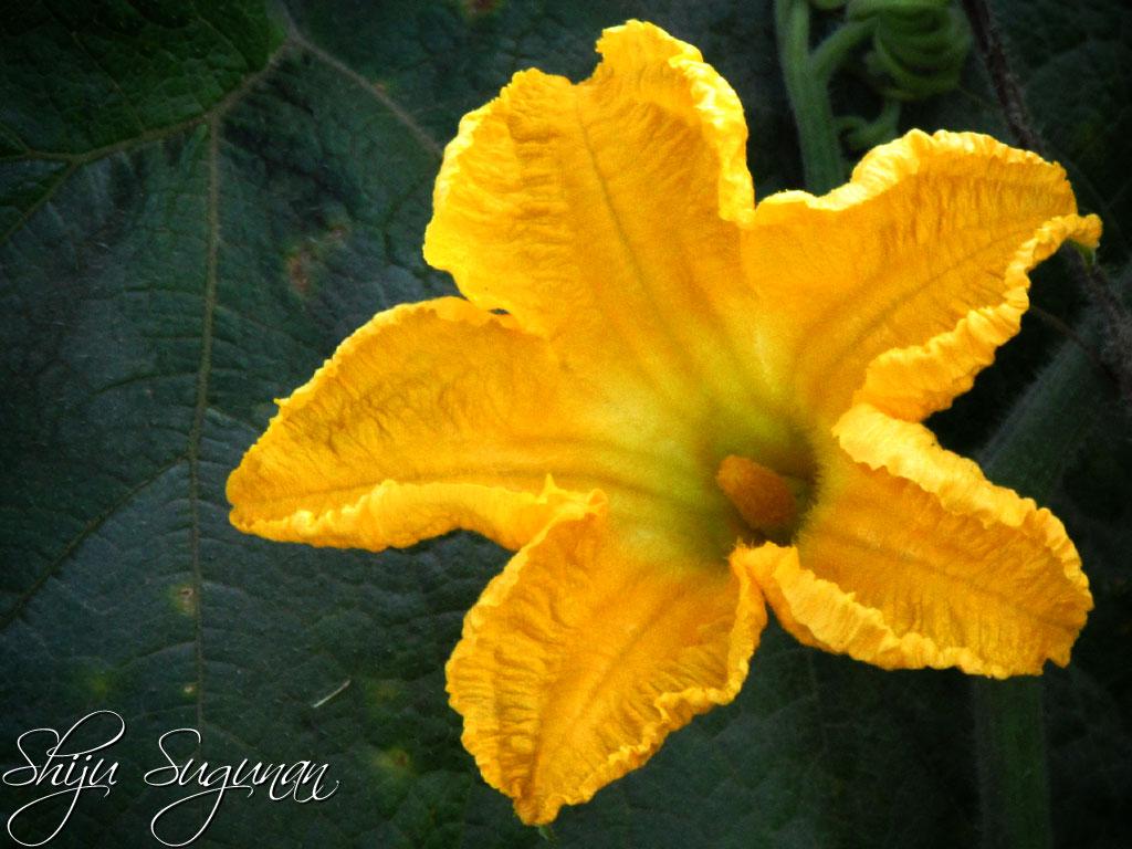 Pumpkin Flower  U2013 Cranium Bolts
