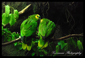 Pair of parrots, showing love  Bronx Zoo New York