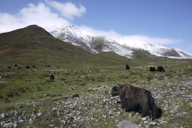 yaks in Qinghai, China