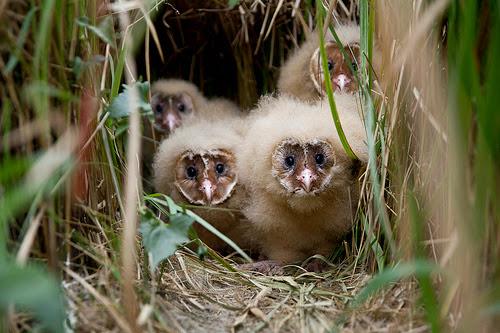 台灣的草鴞王子報到!(圖片來源:高雄鳥會)