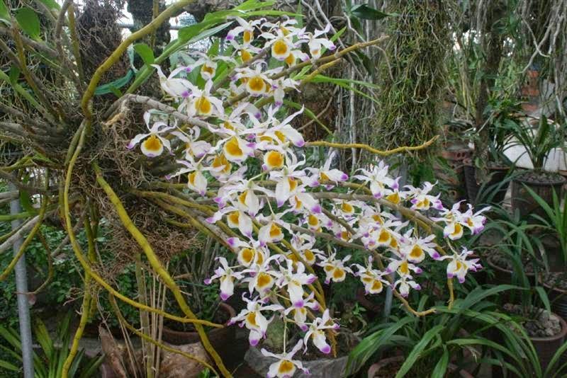 Hoàng thảo ngọc thạch là loại phong lan họ hoàng thảo, thân trưởng thành vàng ươm, căng tròn dễ nhận biết