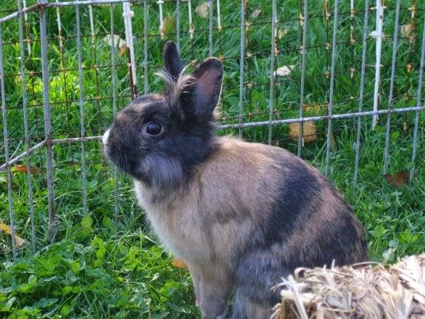 [adoptée]-Nala, lapine noire et marron, avec le bout du nez blanc Nala10-d4e99