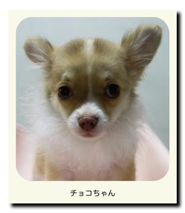 チワワ(子犬)のチョコちゃん