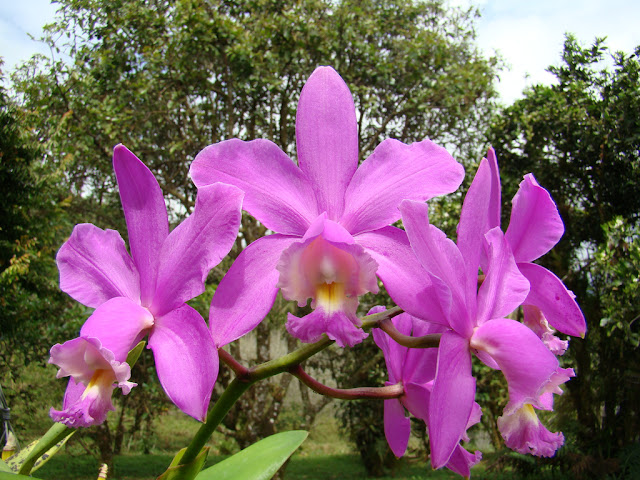 Растения из Тюмени. Краткий обзор - Страница 11 Cattleya_loddigesii_1