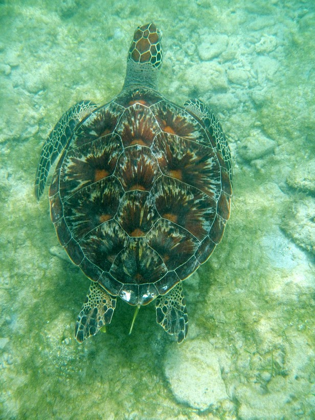 Tortues marines à Mayotte DSCN1163