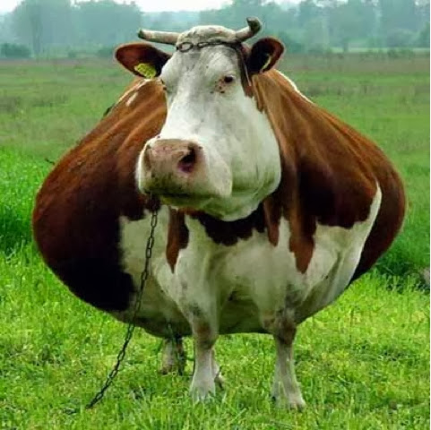 wallpaper gambar sapi terunik dan terlucu