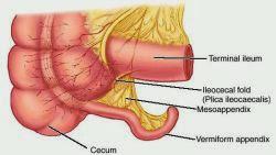 位置 盲腸