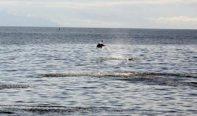 Esses magnificos Cetacios -  Cachalotes - Golfinhos etc IMG_1395a