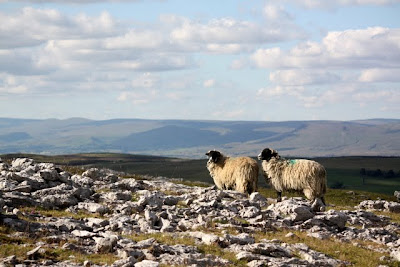 Two sheep on a hill in the Eden Valley in Cumbria England