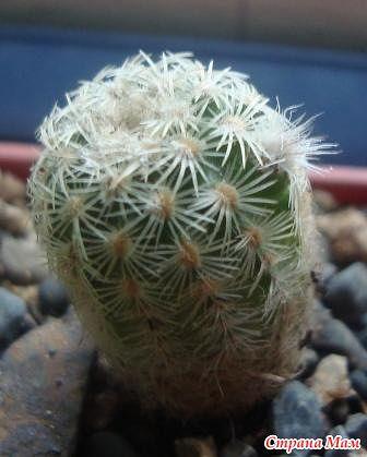 мой райский сад:) - Страница 8 Echinocereus%2520chloranthus