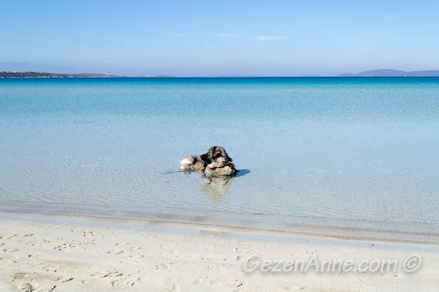 Ilıca plajında denize atlayıp poz veren köpek, Çeşme İzmir