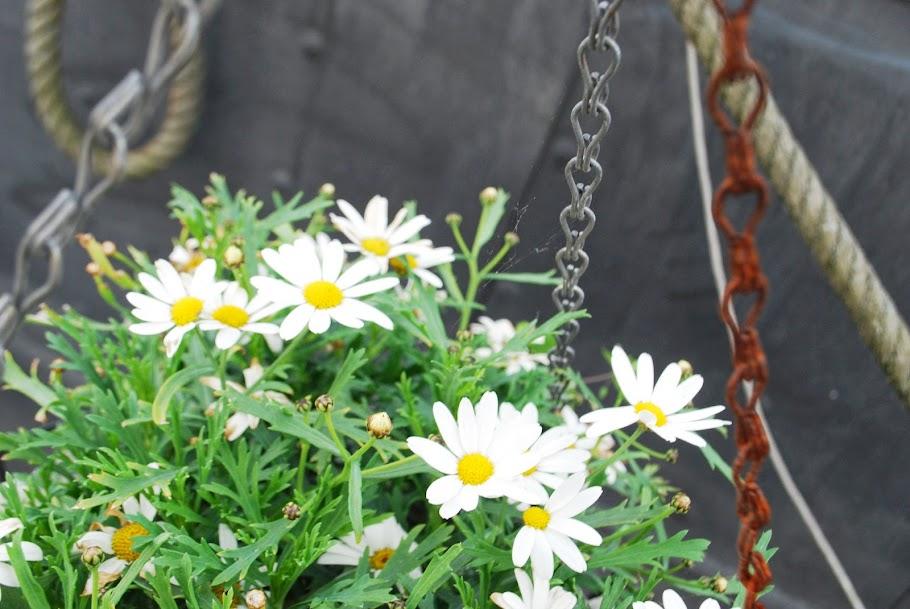 Daisy in Amsterdam