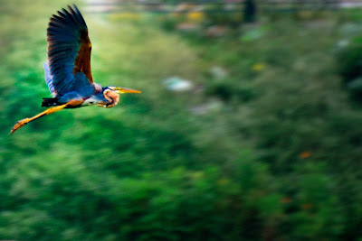 10-Sep-2011 Purple Heron Pic: Sudhir Singh