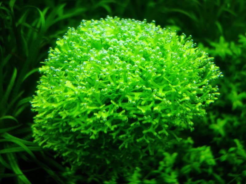 Rêu Ricca - một loại rêu đẹp trong hồ thủy sinh