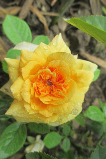 Hoa hồng ngoại Golden Buddha(Nguồn ảnh: vườn hồng Vân Loan, Sa Đéc)