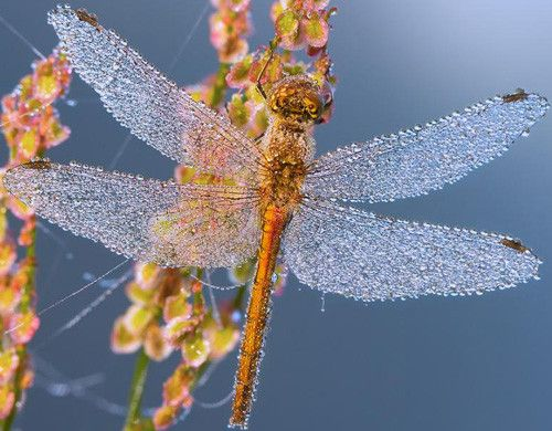 Dragonfly in 50 Howling Examples of Dew Photography