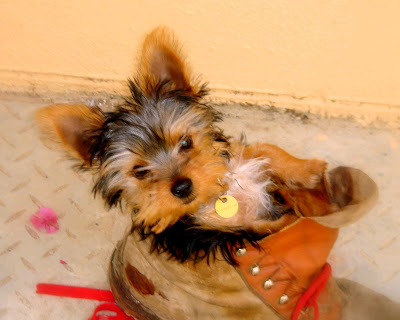 Peanut's smallest yorkie puppy at birth,Brandy