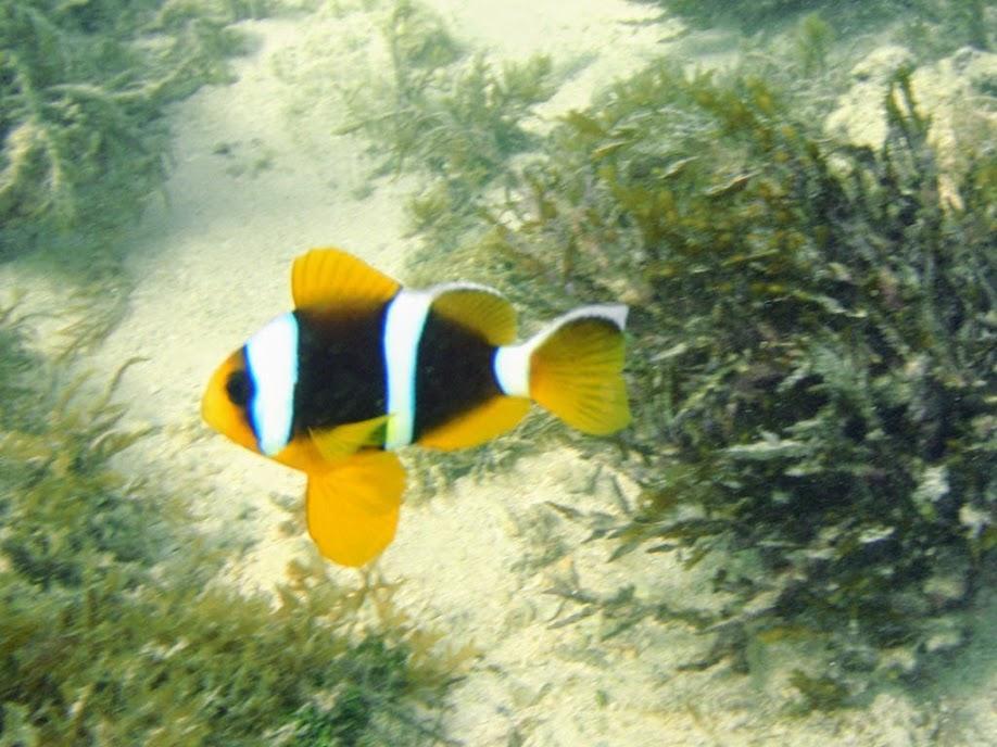 Amphiprion chrysopterus (Orangefin Clownfish), Naigani Island, Fiji.