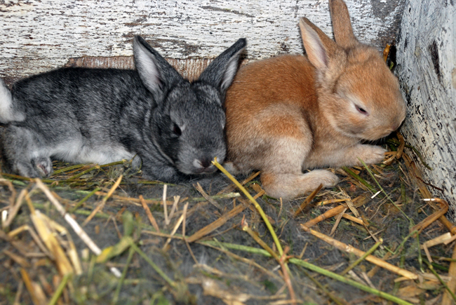 Câți ani trăiesc iepurii decorativi de rase diferite: speranța de viață acasă