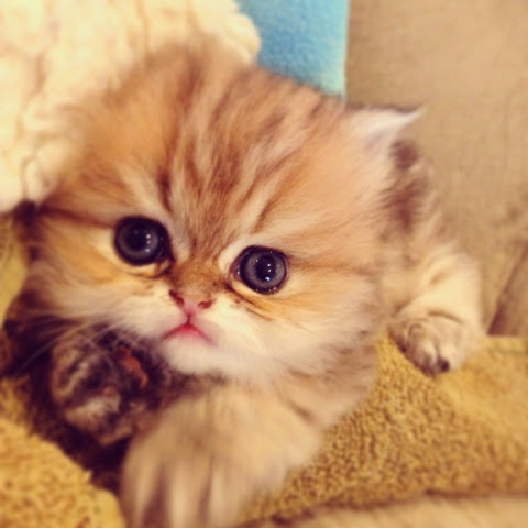 Doll face persian cats for sale
