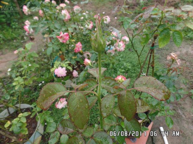 Nụ hoa hồng 2 da