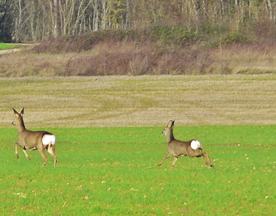 French Village Diaries France French life Walking deer