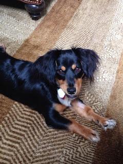 Sadie puppy