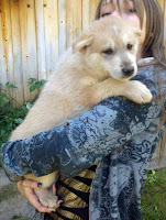 Female - Wolf Hybrid Puppy for sale Mackenzie Valley and Timber Wolf