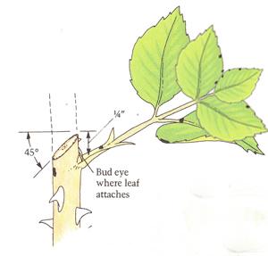 Vị trí cắt tỉa cách cuống lá khoảng 1cm