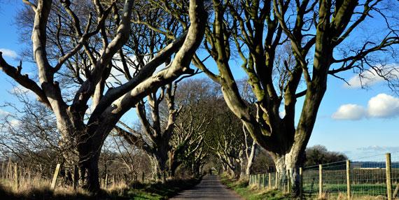 Bregagh Road, Ballymoney: tall dark grey beech trees both sides of a long county road