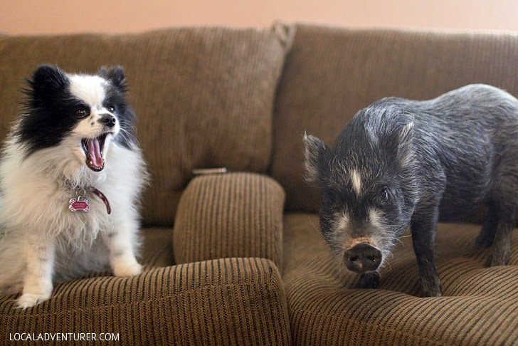 Teacup Pigs // National Pet Adoption Month.