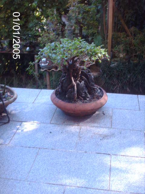 Ficus Microcarpa do Roberto Teixeira... PICT1734