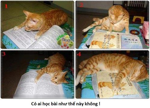 Ảnh chế vui mèo học bài