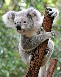 koala   Facts, Appearance, Diet, & Habitat   Britannica