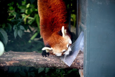 Red Panda at the Bristol Zoo in England