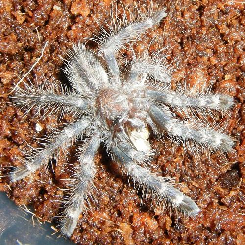 Ghost Ornamental Tarantula Ornamental Tarantula
