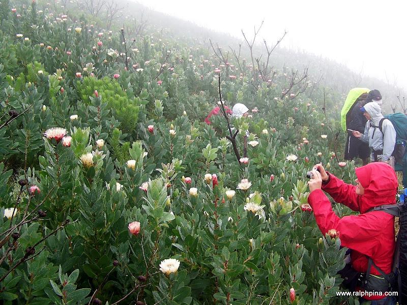Fields of protea