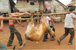 Ethnic Jarai villages carry a cow to be butchered to appease the spirits