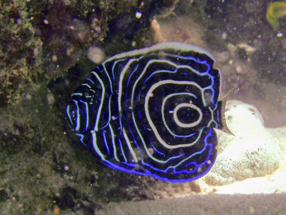Pomacanthus imperator (juvenile Emperor Angelfish), Rarotonga. This photo was taken in about 3 feet (1 meter) of water.