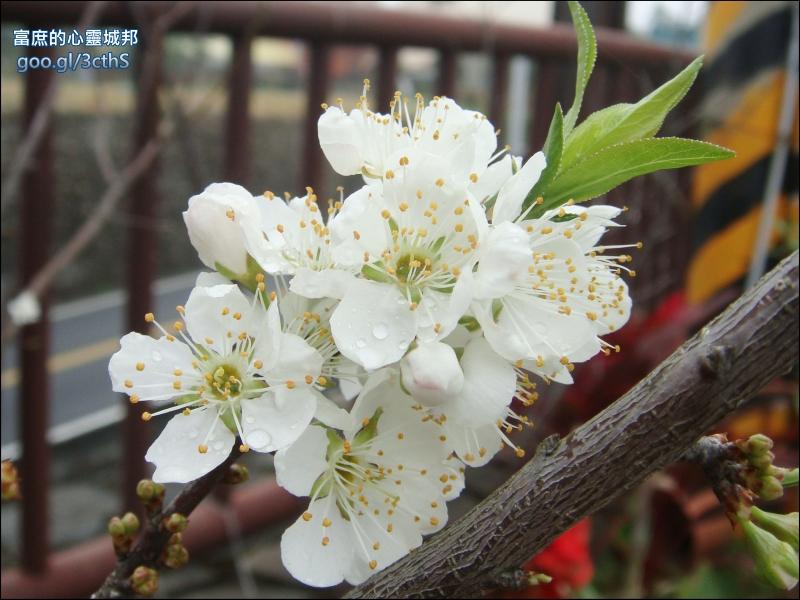 Plum flowers photos