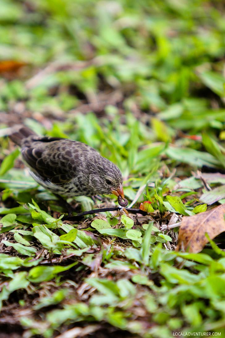 Darwin Finches - Galapagos Animals.
