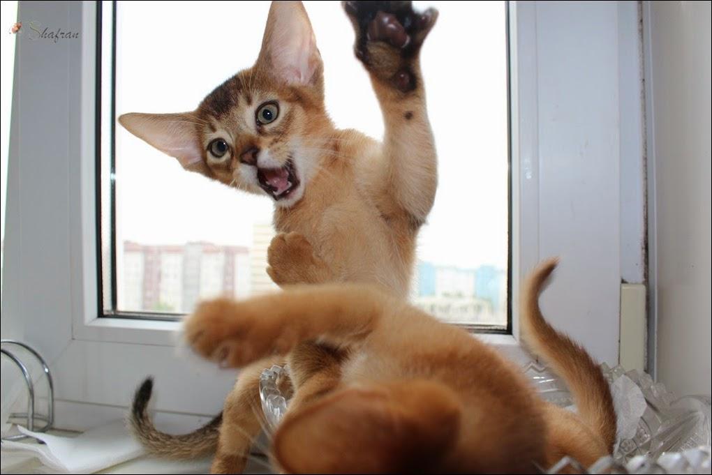 игры абиссинских котят
