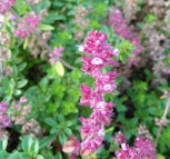 Thymus pulegioides - Macierzanka zwyczajna