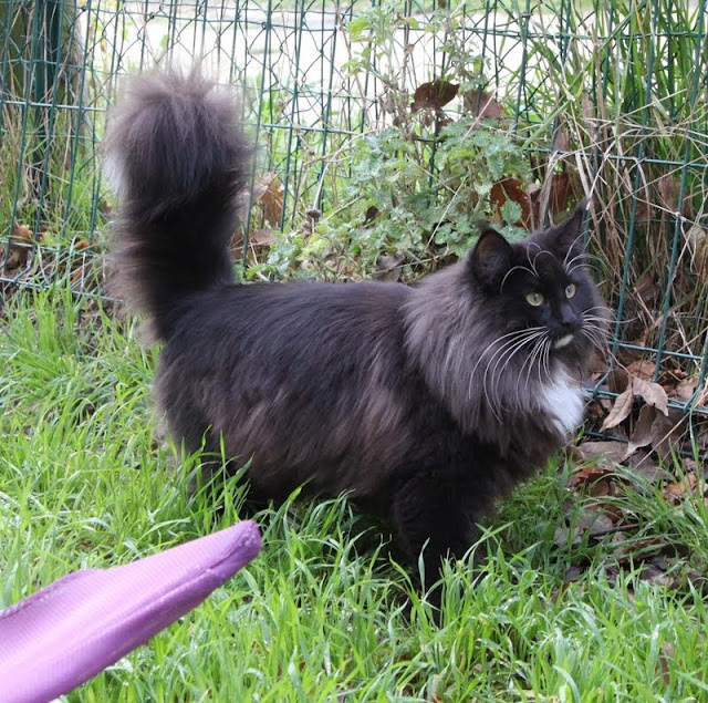 chat des forets norvegiennes