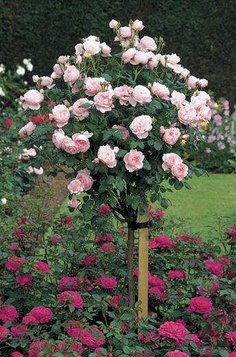 Hoa hồng ngoại Scepter'd Isle rose dạng tree rose cực kì đẹp