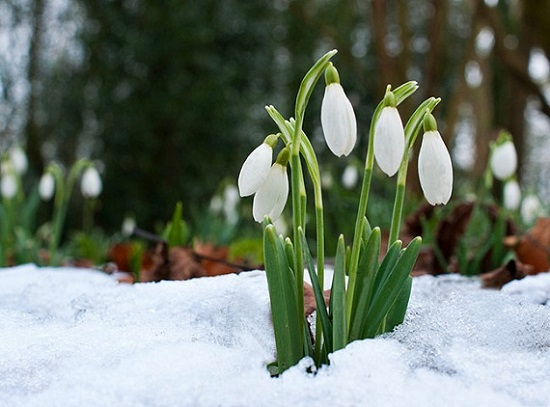 hoa xuyên tuyết trắng đẹp nhất