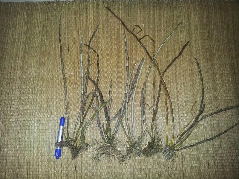 Hoàng thảo kèn được giới chơi lan săn đón