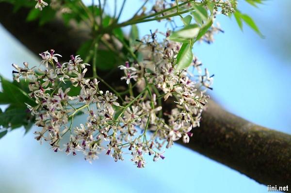 thơ hoa xoan hoài niệm