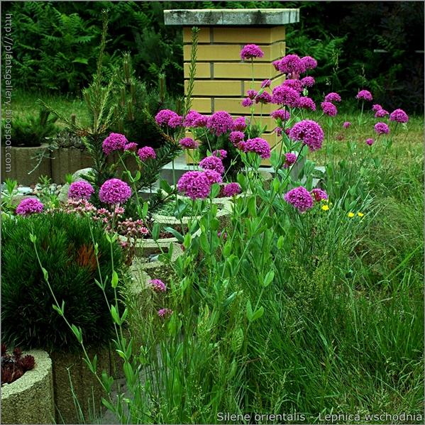 Silene orientalis - Lepnica wschodnia pokrój kwitnącej rośliny