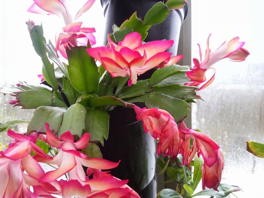 fleur de Rhipsalidopsis (corrigé) 20131207_132036